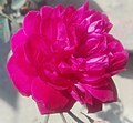 Rose 10.jpg