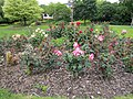 Rose garden, Hereford - IMG 0054.JPG