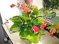 Rote Blüten 2.JPG