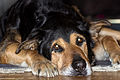 Rottweiler, tired, 2014-12-31.jpg