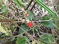 Rubus pseudosieboldii Makino's fruit.jpg