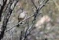 Rufous-crowned Sparrow (33856628552).jpg