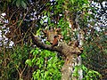 Rufous Woodpecker - Mugilu Homestay.jpg