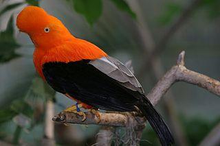 Andean cock-of-the-rock species of bird