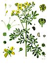 Ruta graveolens - Köhler–s Medizinal-Pflanzen-259.jpg