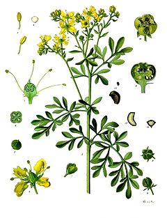 Baños varios 240px-Ruta_graveolens_-_K%C3%B6hler%E2%80%93s_Medizinal-Pflanzen-259