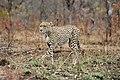 SA05026-Gepard.jpg