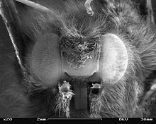 Scanning electron micrograph in black and white of the compound eyes of a butterfly seen from front.