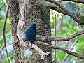 SSS Sunda Blue Robin West Java.jpg