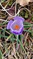 Saffron - Crocus vernus 07.jpg