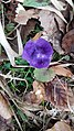 Saffron - Crocus vernus 50.jpg