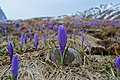 Saffron Blossom.jpg