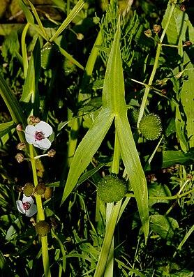 Gewöhnliches Pfeilkraut (Sagittaria sagittifolia)