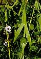 SagittariaSagittifolia.jpg