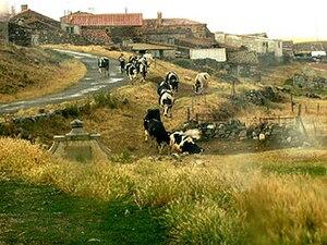 Livestock at Sahornil in early October.