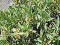 Salix eastwoodiae (24614780275).jpg