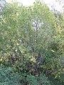 Salix lasiandra (5014977438).jpg