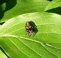 Salticidae^ Eris nidicolens - Flickr - gailhampshire.jpg