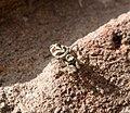 Salticus scenicus female (35834913886).jpg