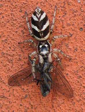 Zebraspringspinne (Salticus scenicus) mit Beute