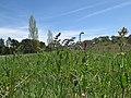 Salvia verbenaca habit2 ST (15936552510).jpg
