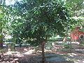 Samadera indica - കരിഞൊട്ട 01.JPG