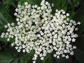 Sambucus nigra 01.jpg