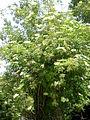 Sambucus nigra 2c.JPG