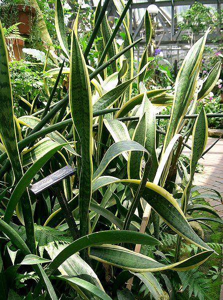ファイル:Sansevieria trifasciata1.jpg