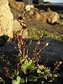 Saxifraga cernua plant upernavik 2007-07-09.jpg