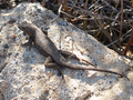 Sceloporus occidentalis longipes - Great Basin Fence Lizard.png