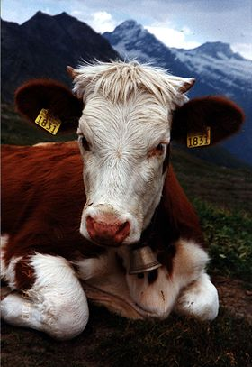 Image illustrative de l'article Simmental (race bovine)