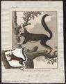 Sciurus indicus - 1700-1880 - Print - Iconographia Zoologica - Special Collections University of Amsterdam - UBA01 IZ20400049.tif