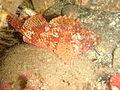 Scorpaena papillosa Southern red scorpionfish P2153921.JPG
