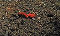 Sea Slugs (Platydoris sanguinea) (6064980381).jpg