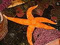 Sea stars of oregon.JPG