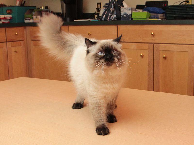Gato himalayo es muy afectuoso y aprende rápido