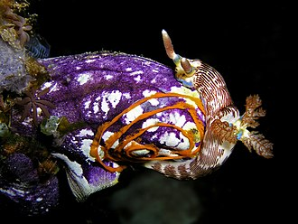 Benthos - A sea squirt being used as a substrate for a nudibranch's spiral egg