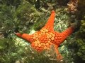 File:Seastar, Nectria ocellata.webm