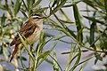 Sedge Warbler - Rutland Water (34816373381).jpg