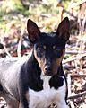 Seegmiller Standard Rat Terrier Jenny2.jpg