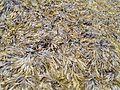 Seeweed tang texture.jpg