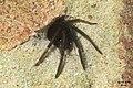 Segestria florentina No.4 (FG) (32628347130).jpg