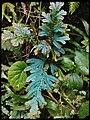 Selaginella caudata.jpg