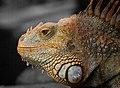 Selective reptile.jpg