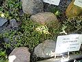 Senecio radicans - Botanical Garden in Kaisaniemi, Helsinki - DSC03727.JPG
