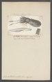 Sepia tuberculata - - Print - Iconographia Zoologica - Special Collections University of Amsterdam - UBAINV0274 090 07 0008.tif