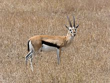 Serengeti Thomson-Gazelle2.jpg