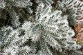 Ses Salines - Botanicactus - Cylindropuntia tunicata 05 ies.jpg
