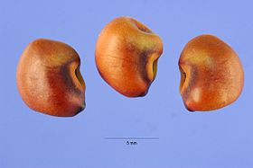 Sesbania punicea seed.jpg